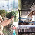 व्यवसायिक पशुपालनमा रमाउदै बेलकोटगढीका एक युवक